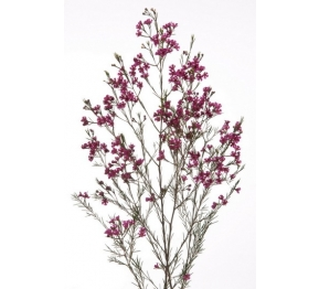 CHAMELAUCUM WAXFLOWER