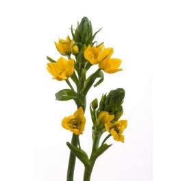 Dubium Yellow Asa